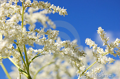 White blooming spirea