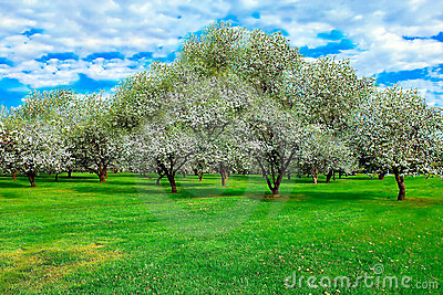 White blossom of apple trees