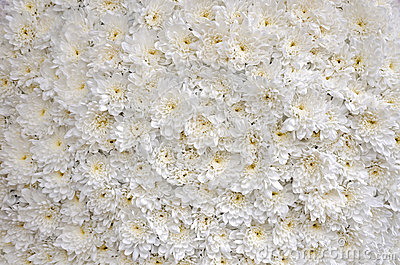 White blossomed chrysanthemums