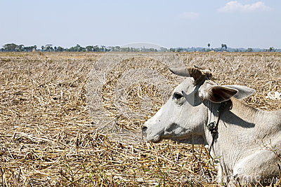 Brahma Cow in Dry Field