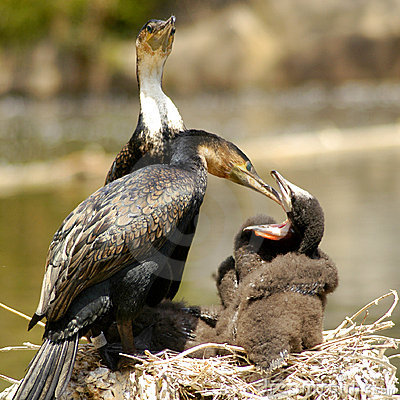 Free White-breasted Cormorant Royalty Free Stock Images - 17544319