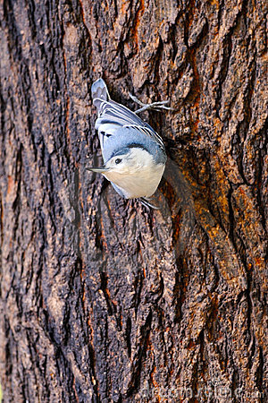 White-Breasted Nuthatch