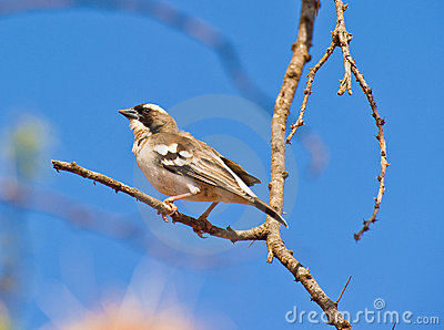 A White-browed Sparrow-weaver