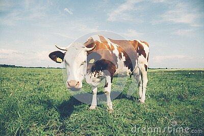 White Brown Cow Free Public Domain Cc0 Image
