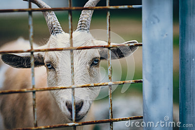 White And Brown Goat Free Public Domain Cc0 Image