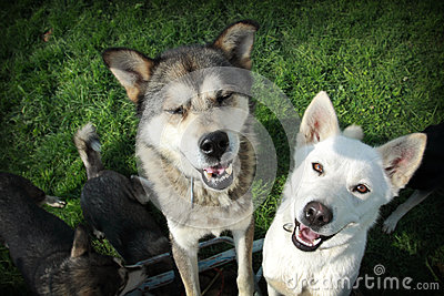 White and brown huskies