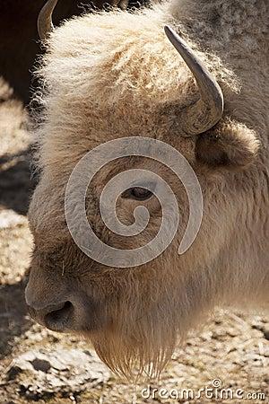 Free White Buffalo Stock Photo - 50995220