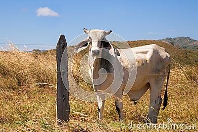 White Bull on a Farm