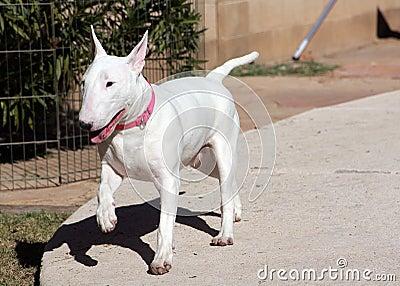 White Bull Terrier prancing