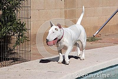White Bull Terrier walking with her ball
