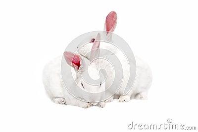 White bunnies on white