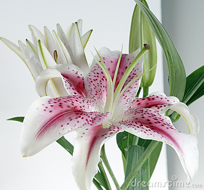 White and burgundy lily