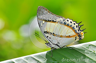 White Butterfly on Banana leaves