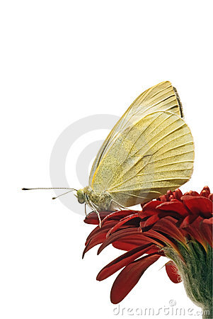 White butterfly isolated