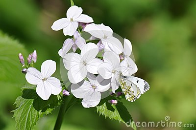 White butterfly, Pieris rapae