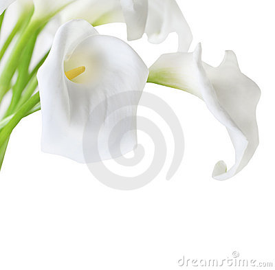 Free White Cala Lilies Royalty Free Stock Photos - 20499058