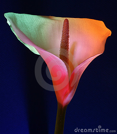 Free White Calla Flower Royalty Free Stock Photo - 5229175