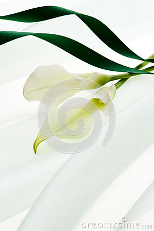 White calla and green ribbon