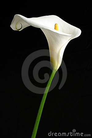 Free White Calla Lilly Royalty Free Stock Images - 1545259