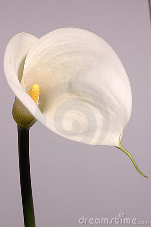 Free White Calla Lily Royalty Free Stock Photos - 2145218