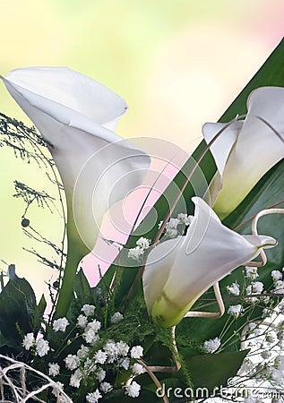 White Calla lilys
