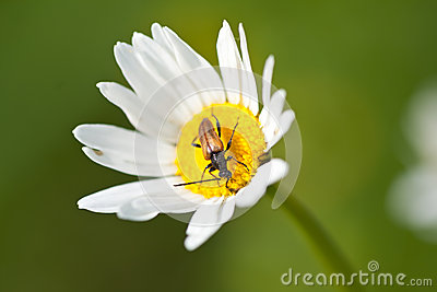 White camomile flower