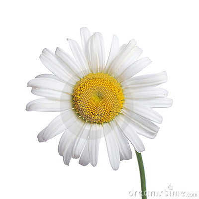 Free White Camomiles  Isolated On A White Stock Photos - 20561283