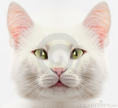 Free White Cat Royalty Free Stock Photography - 108842517