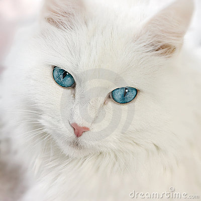 Free White Cat Stock Photography - 13309142