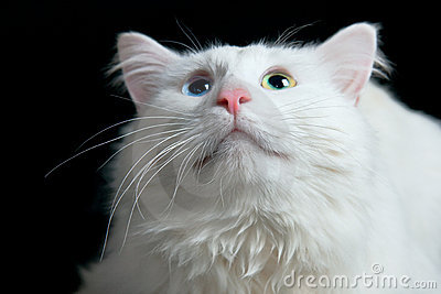 White Cat Stock Photography - Image: 18967432