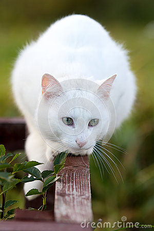 White Cat Royalty Free Stock Image - Image: 27196046