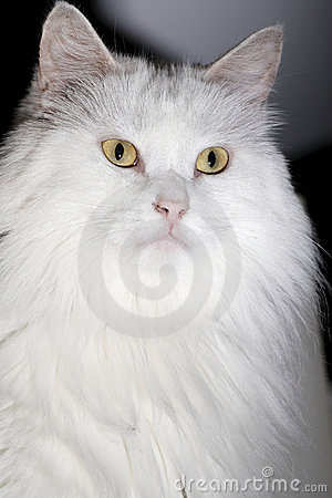 White cat close-up