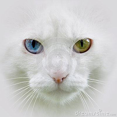 Free White Cat, Different Eyes Royalty Free Stock Photo - 32466585