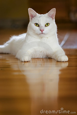 White cat on Hardwood