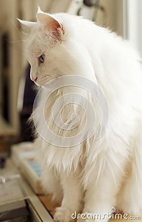 White cat indoor.