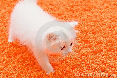 White cat at orange carpet