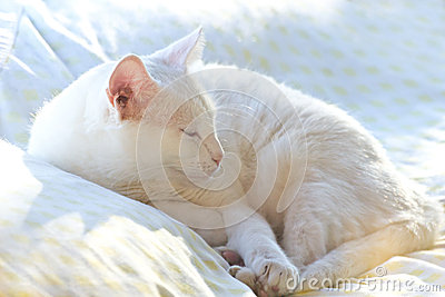 White Cat Sleeping In Sun