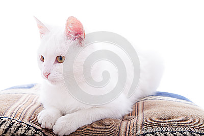 White cat on a white background