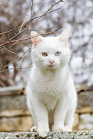 Free White Cat With Different Colored Eyes - Vertical Orientation Royalty Free Stock Images - 67136089