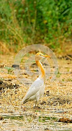 White cattle egret