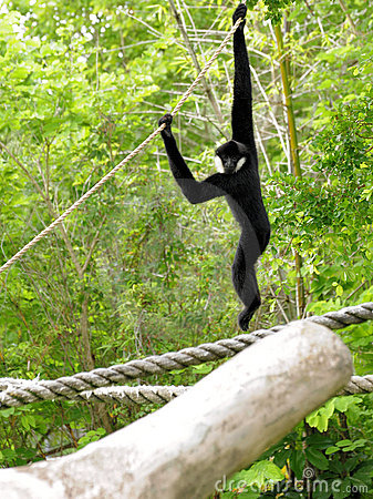 White-cheeked Gibbon Monkey