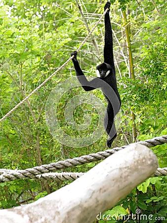 White-cheeked Gibbon Monkey
