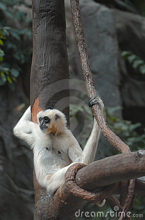 White-cheeked Gibbon rests on tree with vine