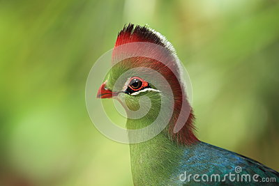 White-cheeked turaco detail