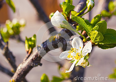White cherry blossom flowers in spring season