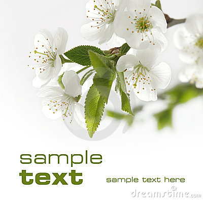Free White Cherry Flowers Close-up Royalty Free Stock Images - 8427739