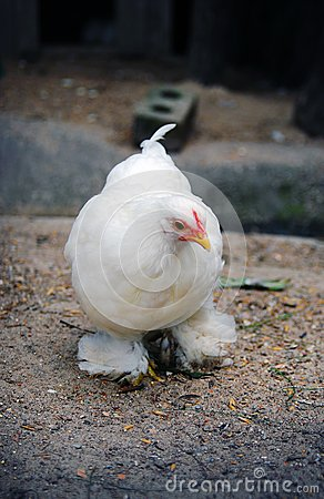 White chicken closeup