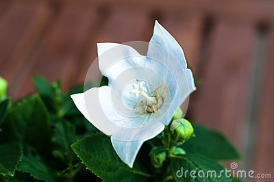 White Chinese Bellflower