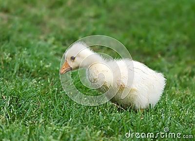 White Chinese Goose gosling