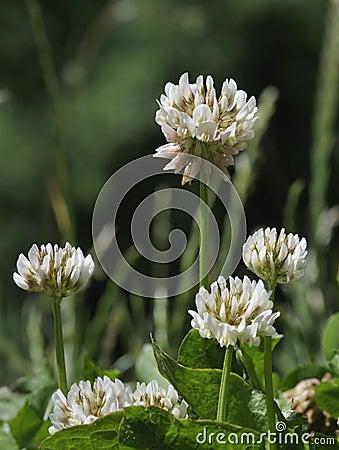 White Clover - Trifolium repens